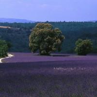 Provence lavenda