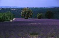 lavanda Provence